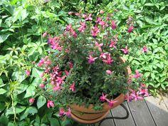 Fúcsia Plants, Garden, Photos, Flora, Plant