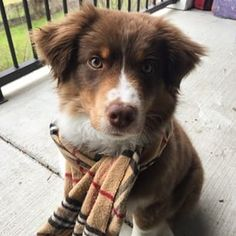 19 Reasons Australian Shepherds Are The Best-Looking Dogs In The World Super Cute Puppies, Cute Baby Dogs, Cute Little Puppies, Cute Dogs And Puppies, Cute Little Animals, Cute Funny Animals, Doggies, Little Dogs, Australian Shepherd Puppies