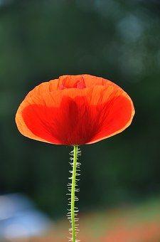 Spring, Nature, Poppy pixabay.com