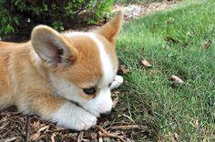 cute corgi puppy !!