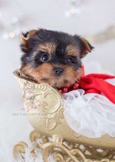 Beautiful Yorkshire Terrier Puppy For Sale Teacup Puppies #319