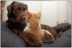 Hessel The Labrador Retriever and Hannes The Cat live together Labrador Retrievers, Cat Love, I Love Dogs, Funny Animals, Cute Animals, Son Chat, Raining Cats And Dogs, Paws And Claws, Tier Fotos