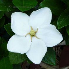 Photo of Gardenia | Gardenia Grandiflora Star - Garden Express Photo Gallery
