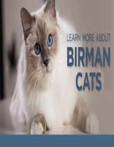 A Birman's quiet, playful personality loves to be with people but he's content to entertain himself if you are busy. He is calm, sweet and well-mannered, making him a great family pet. Grey Cat Names, Funny Cat Names, Cute Cat Names, Grey Cats, Funny Cats, Disney Cat Names, Disney Cats, Cats Bus, Cats And Kittens