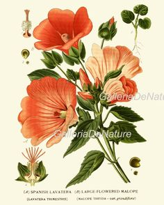 From the Swallowtail Garden Seeds collection of botanical photographs and illustrations. We hope you will enjoy these images as much as we do. Nature Illustration, Floral Illustrations, Botanical Illustration, Vintage Botanical Prints, Botanical Drawings, Vintage Flower Prints, Botanical Flowers, Botanical Art, Hibiscus