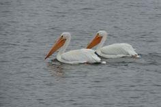 American White Pelican by Jon Rouse