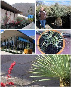 Mountain States Wholesale Nursery - Palm Springs #desert #plants #succulents