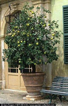 Maceta con limones o peras!