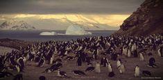 Полуторамиллионная колония пингвинов Адели обнаружена на островах Дангер http://islandlife.ru/news_island/293-polutoramillionnaya-koloniya-pingvinov-adeli-obnaruzhena-na-ostrovah-danger.html #Пингвины #Антарктида #Дангер #Адели