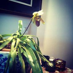 Primeira orquídea nascida em casa :-)