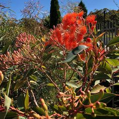 Grafted Flowering Gums at Poppy's Home and Garden Newcastle Newcastle, Garden Plants, Poppies, Home And Garden, Gardens, Orange, Flowers, Outdoor Gardens, Poppy
