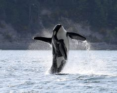 Vancouver photographer Mark Malleson took this photograph of the Southern Resident killer whale known as or Doublestuf, breaching while he was in the interior waters of the Salish Sea this spring. Underwater Creatures, Ocean Creatures, Orcas, Big Whale, Whale Art, Wale, Mundo Animal, Killer Whales, Ocean Life