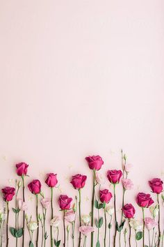 Pink roses on a pink background by Ruth Black for Stocksy United - Blumen Rosen - Rose Wallpaper, Colorful Wallpaper, Nature Wallpaper, Screen Wallpaper, Wallpaper Desktop, Floral Wallpaper Iphone, Pinky Wallpaper, Shabby Chic Wallpaper, Spring Wallpaper