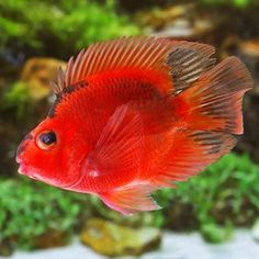 Red & Black Blood Parrot Cichlid