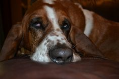 My Winston, how can you not love Bassets?...