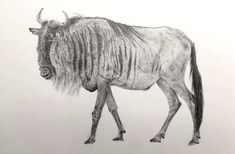 Drawing For Beginners Realistic Pencil Drawing tutorial for Beginners. A pencil drawing of a Wildebeest. How to draw realism with pencils. Realistic Pencil Drawings, Pencil Art Drawings, Animal Drawings, Drawing Sketches, Realistic Sketch, Pencil Sketching, Sketching Tips, Fine Art Drawing, Art Drawings For Kids