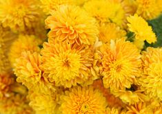 Here's a collection of my favorite 30 yellow flowers. I sat down and started listing out my favorite yellow flowers and couldn't stop. This is your ultimate guide to yellow flowers. Rare Flowers, Exotic Flowers, Yellow Flowers, Pink Roses, Yellow Chrysanthemum, Peonies Garden, Flowers Garden, Z Photo, Hybrid Tea Roses