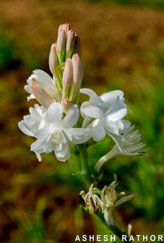 ✿ Agavoideae ✿ Polianthes is a genus of plants in family Asparagaceae, subfamily Agavoideae. It includes tuberose (Polianthes tuberosa).