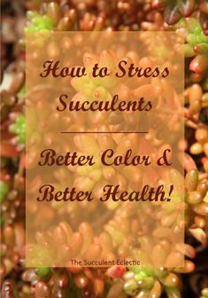 Make Succulents Change Color Learn exactly how and why to stress succulents for better color and health! Pin now, read later!Learn exactly how and why to stress succulents for better color and health! Pin now, read later! Colorful Succulents, Colorful Garden, Cacti And Succulents, Planting Succulents, Garden Plants, House Plants, Propagating Succulents, Succulent Gardening, Shade Garden