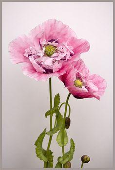 Poppy by brianrosshaslam, via Flickr