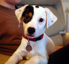 (2) Jack Russell Terrier Club of America (JRTCA)... - Jack Russell Terrier Club of America (JRTCA)
