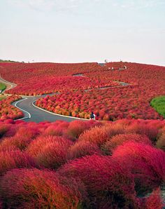 Hitachi Seaside Park, Japan. I wonder if this was the inspiration for Dr. Suess truffala trees from the Lorax.