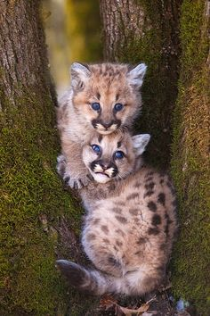 Mountain lion kittens, Minnesota    Copyright for this gallery photo belongs solely to Jim Zuckerman