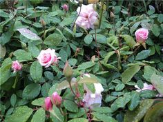 Rosas de Santa Teresinha