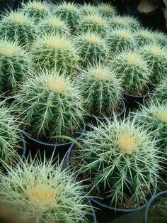Kaktus 085649952031