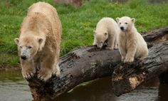 Mother and baby polar bears