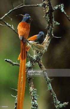 Monarca-colilargo africano - African Paradise-Flycatcher - Graubrust-Paradiesschnäpper - Tchitrec d'Afrique