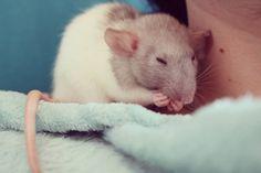 My baby Dobby #aww #cute #rat #cuterats #ratsofpinterest #cuddle #fluffy #animals #pets #bestfriend #ittssofluffy #boopthesnoot