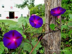 Gentle Joy Photography: What Glorious Morning Glories!