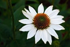 White Coneflower by Jerry Bain - Photo 7700615 - 500px