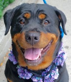 SAFE 8-9-2016 by For The Love of Dog - Rottweiler Rescue of New Hampshire…