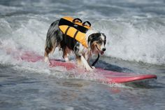 Surf City Surf Dog Contest in Huntington (8)