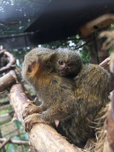 When they have babies, Titi Gris fathers carry their babies on their back as part of the child-rearing process. Pygmy Marmoset, Fathers, Babies, Children, Pets, Boys, Babys, Kids, Dads