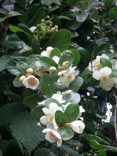 Flor del Ulmo