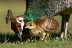 peahen and peachick Pretty Birds, Love Birds, Beautiful Birds, Animals Beautiful, Baby Animals, Funny Animals, Cute Animals, Exotic Birds, Colorful Birds