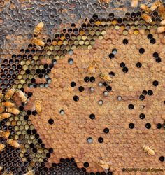 This image shows a section of a frame with a wax moth tunneling below sealed brood. This symptom is called Bald Brood.