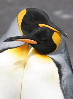 How cute is this King penguin couple? King Penguin, Penguin Love, Cute Penguins, Penguin Parade, Animals Of The World, Animals And Pets, Baby Animals, Cute Animals, Penguin Animals