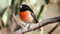 Scarlet Robin by cosmos38 - the real one, via Flickr
