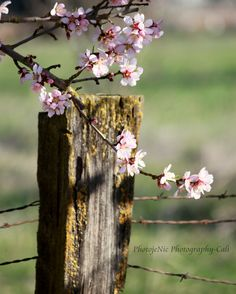Spring time. Prints available in any size. Email me for details. PhotojeNicPhotography.Cali@yahoo.com Flowers Nature, Love Flowers, Beautiful Flowers, Beautiful Pictures, Country Fences, Rustic Fence, Down On The Farm, Jolie Photo, Spring Has Sprung
