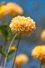 Gelbe Dahlien in spätsommerlichem Blumenbeet, Dahlia, leuchtende Blütenpracht vor blauem Himmel
