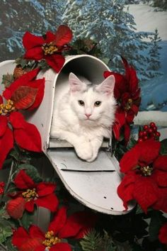 The perfect surprise in your mailbox. On another note this is a beautiful cat! Christmas Animals, Christmas Cats, Christmas Time, Merry Christmas, White Christmas, Xmas, Christmas Poinsettia, Holiday Time, Christmas Card Pictures