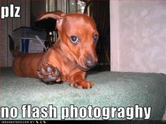 funny #dachshund pictures | funny dachshund photos (7)