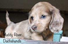 Dachshund Breeders, Weimaraner Puppies, Dachshund Puppies For Sale, Dachshund Dog, Cool Pets, New Puppy, Miniatures, Dogs, Cute