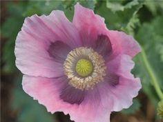 Florist Pepperbox Poppy