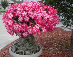 Адениум в домашних условиях: от семечка до цветения. Выращивание и уход за растением. Болезни и вредители. Отзывы цветоводов.