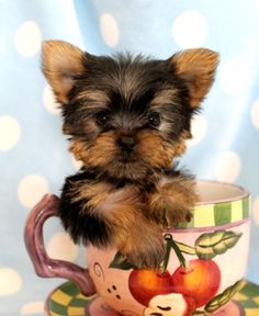allie bear the yorkie maltese mix how could you not love a puppy pinterest puppys too. Black Bedroom Furniture Sets. Home Design Ideas